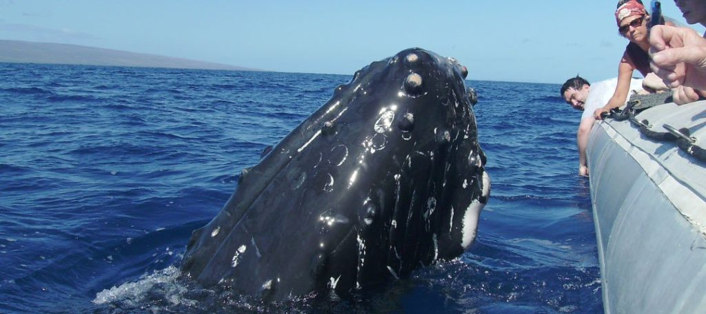 Getting up close and personal with Maui's humpback whales.